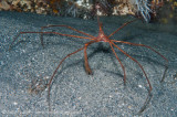 Arrow Crab from blue heron bridge