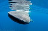 Whaleshark AAB0014