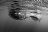 two whalesharks in black & white
