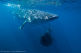 Whaleshark traffic lanes