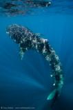 Whaleshark bottlefeeding