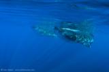 Whalesharks AAB9406
