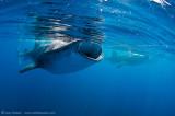 3 feeding Whalesharks