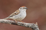 Bruant familier -- Chipping  Sparrow