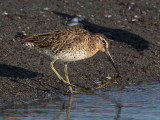 Bécassin roux -- Short-billed Dowitcher