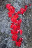 Red Leaf Gray R.jpg