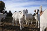 Goats R.jpg