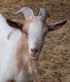 Goat close R.jpg