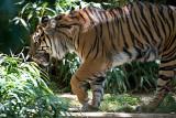 Tiger Walk R.jpg