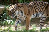 Tiger Walk 2 R.jpg