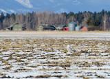 Snowy Owls & Hawks