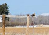 A Rough Legged Hawk