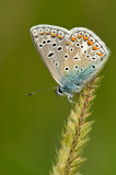 Common blue/ Icarus blauwtje 101
