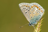 Common blue/ Icarus blauwtje 102