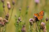 Comma butterfly/Gehakkelde aurelia 104