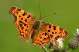 Comma butterfly/Gehakkelde aurelia  105