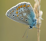 Common blue/ Icarus blauwtje 107