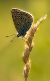 Common blue/ Icarus blauwtje 108