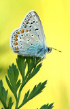 Common  blue/Icarusblauwtje 109