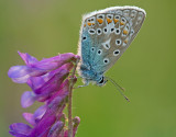Common  blue/Icarusblauwtje 110