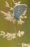 Common  blue/Icarusblauwtje 111