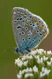 Common  blue/Icarusblauwtje 112