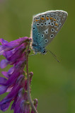 Common  blue/Icarusblauwtje 113