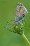Common  blue/Icarusblauwtje 114