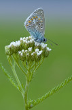 Common  blue/Icarusblauwtje 115