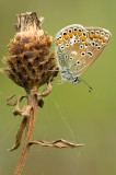 Common  blue/Icarusblauwtje  116