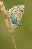 Common  blue/Icarusblauwtje 117