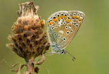 Common  blue/Icarusblauwtje 118