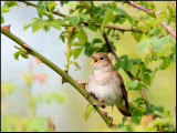 Rufous  Nightingale - Nachtegaal
