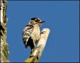 Lesser spotted Woodpecker- Kleine Bonte specht - Dendrocopos minor
