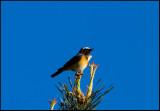 Common Redstard- Gekraagde Roodstaart -Netherlands