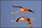 Flamingo. Cuba 2011