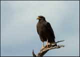 Common Black Hawk. Cuba 2011