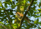 Common Nightingale - Nachtegaal -  Luscinia megarhynchos