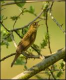 Grasshopper Warbler  - Sprinhaanzangerkopie._MG_0969