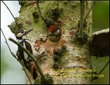 Great Spotted Woodpecker-Grote Bonte Specht
