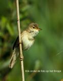 Marsh Warbler -Bosrietzanger_MG_1837