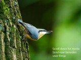 Boomklever - Nuthatch  _MG_3325