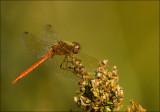 Bruinrode heidelibel-Common Darter-3384