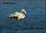 Flamingo  Juv.  Rio Formosa (Portugal)