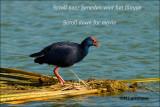 Purperkoet-Filmpje-Purple Swamp hen  - Rio Formosa Portugal