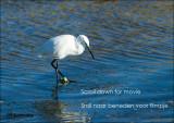 Kleine Zilverreiger -Little Egret - Rio Formosa Portugal