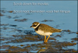 Bontbekplevier -   Great Ringed Plover  .Portugal