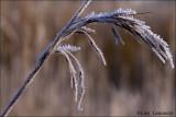 Frozen reed - Rietstengel   5019