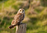 Short-eared Owl  - Velduil