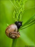 Garden snail - Tuinslak 6525